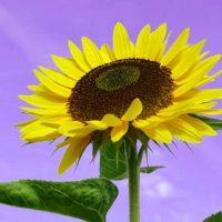 Les pétales de tournesol sont un remède naturel contre diverses maladies